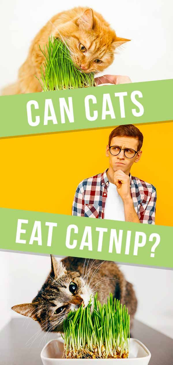 Can Cats Eat Catnip A Complete Guide to Catnip Pros and