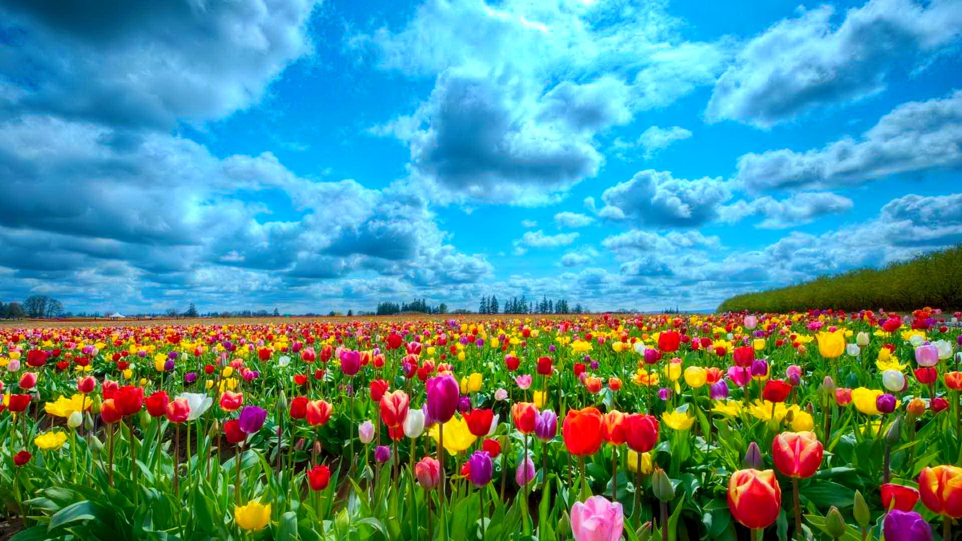 Field Of Tulips Path Google Search Beautiful Flowers Wallpapers Field Wallpaper Flowers Nature