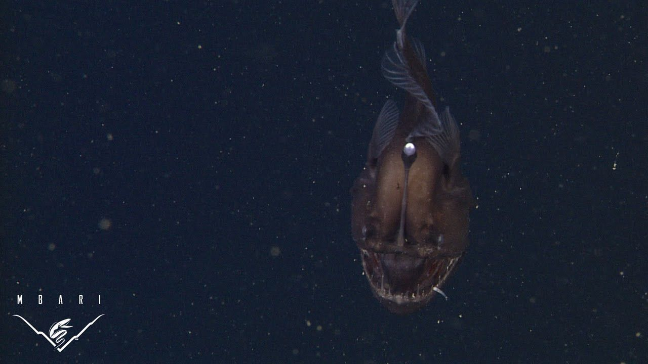Extremely Rare Video of a Live Black Seadevil Anglerfish in Its ... for strange deep sea creatures video  111bof