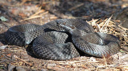 Black Adder Melanistic Animals Melanism Pretty Snakes