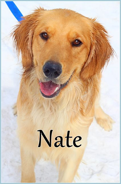 This Is Nate 11 Months He Has Subluxated Hips That Will Require Surgery Golden Retriever Rescue Ohio Re Golden Retriever Golden Retriever Rescue Retriever