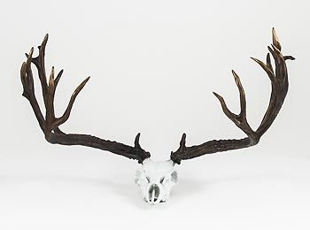 A117518065:Mule Deer Non-Typical Skull by F. Boyer