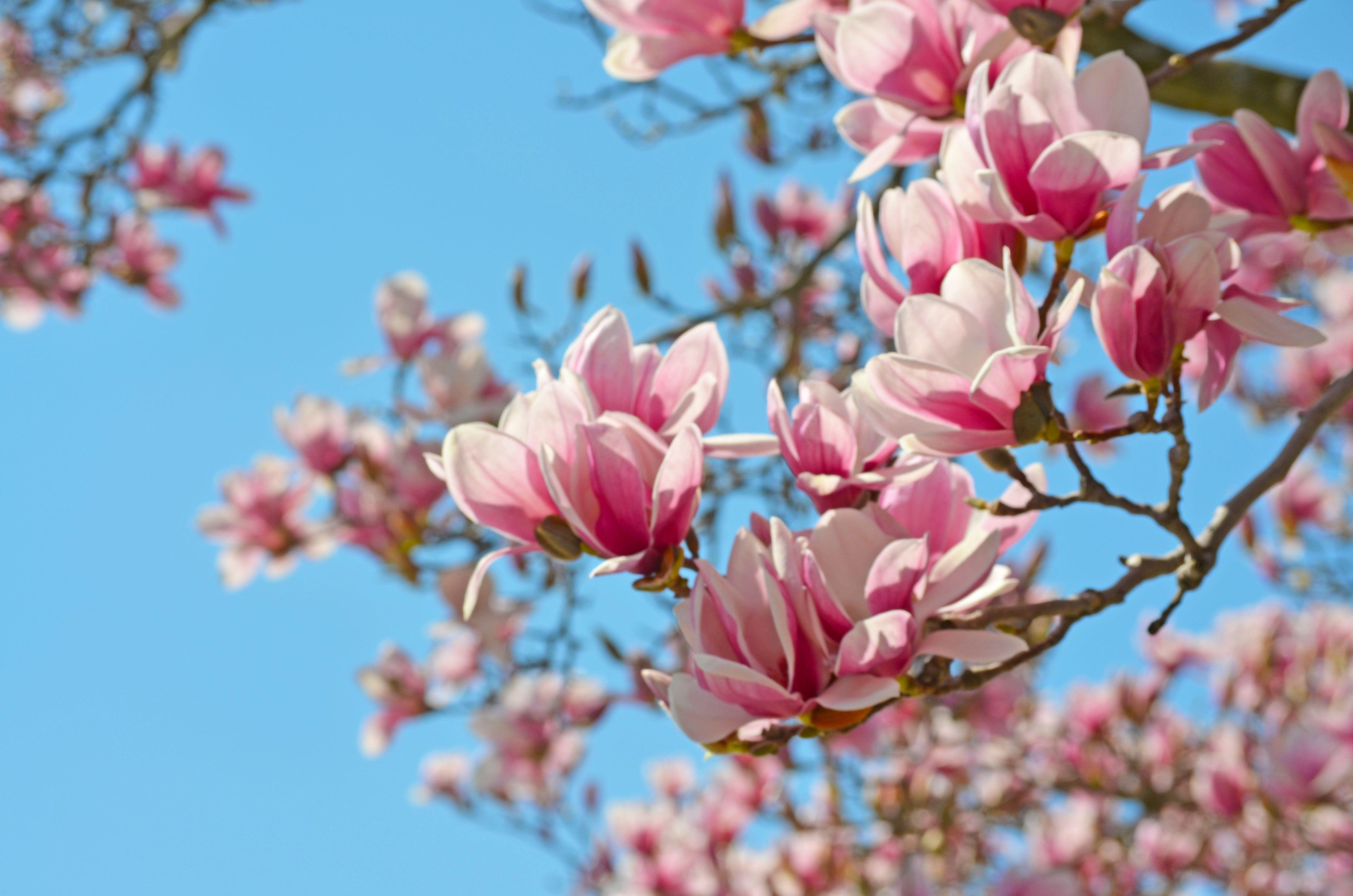 Magnolia grandiflora Southern Magnolia Native to