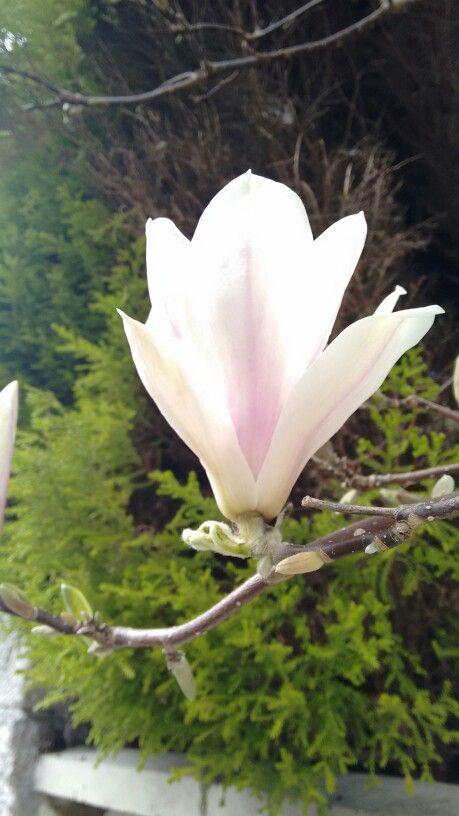Flor de magnolio en Mondoñedo.