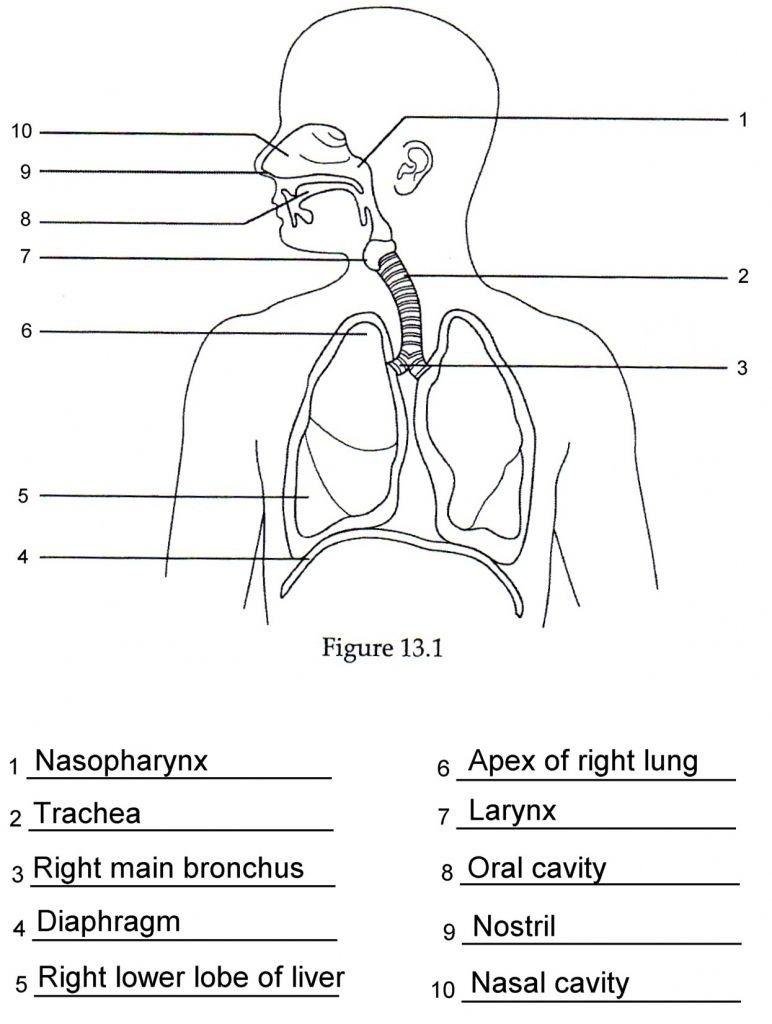 Human Anatomy Respiratory System Quiz . Human Anatomy