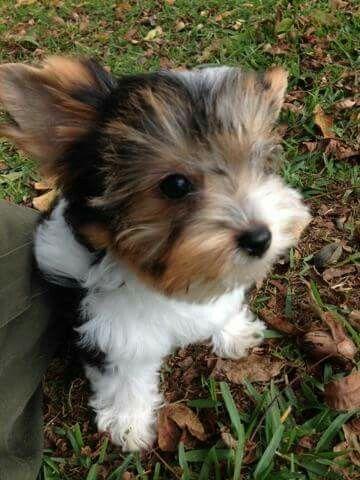 Diane Thompson- .my Biewer Yorkie pup named Harley. Born 7.29.15