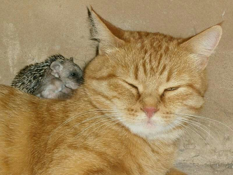 This cat fostered baby hedgehogs along with her own kittens.