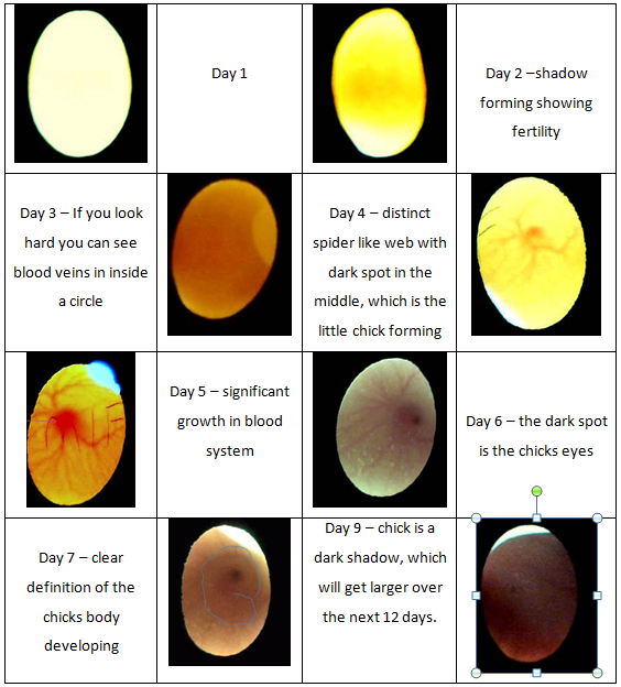 Pin By Louann Thompson On Chickens Candling Chicken Eggs Incubating Chicken Eggs Hatching Chickens