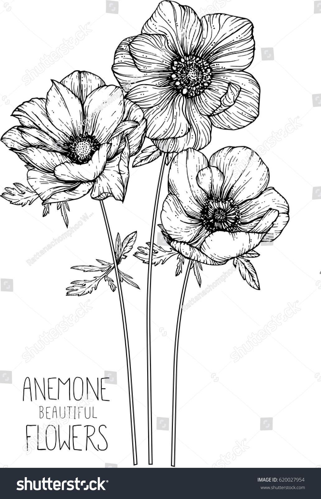 Anemone Flower Drawing : anemone, flower, drawing, Anemone, Flowers, Drawing, Vector, Illustration, Flower, Drawings,, Drawing,