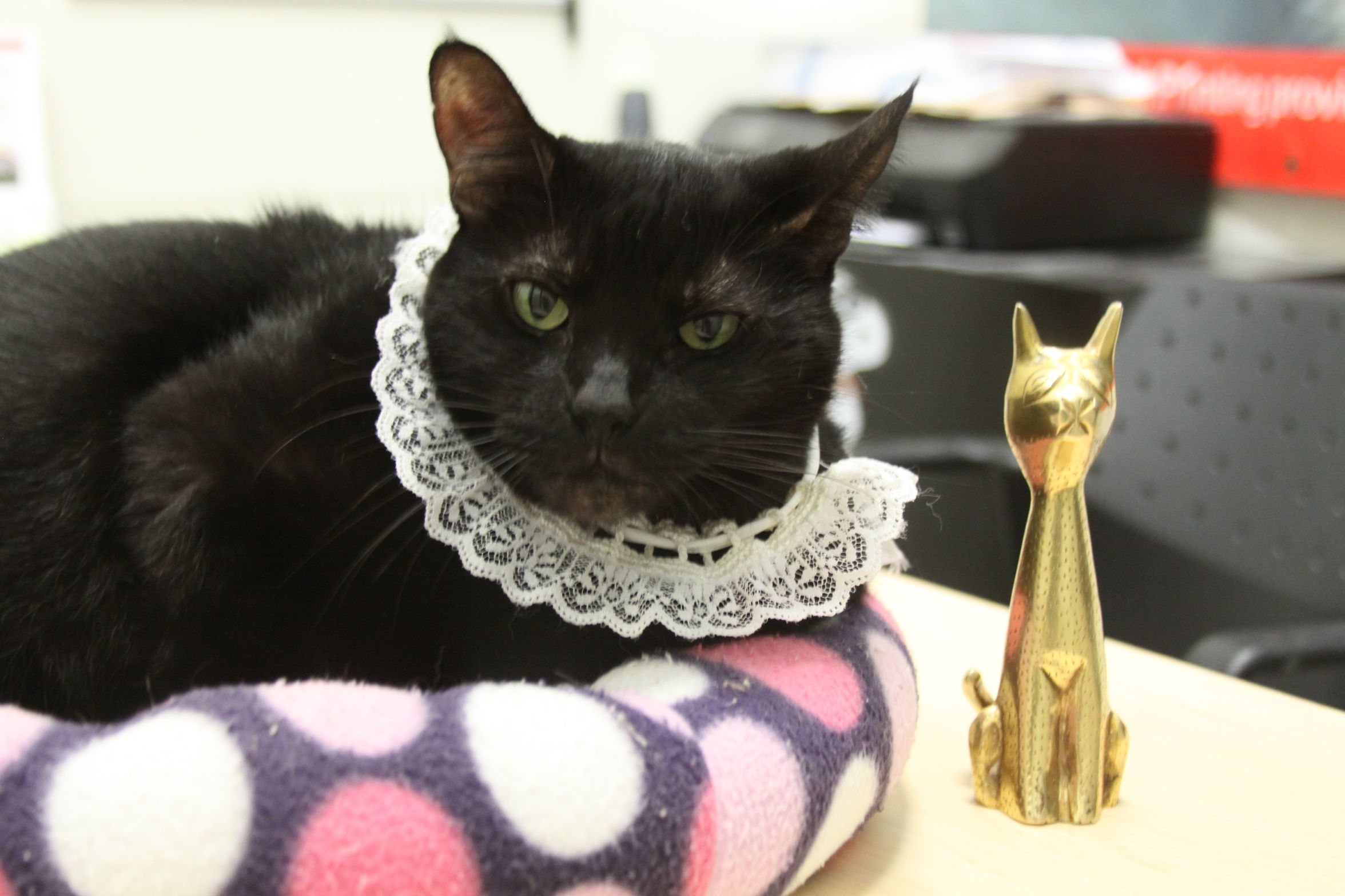 Stardust Dressed Up For The Oscars Blackcat Black Cat Appreciation Day Cat Costumes Black Cat