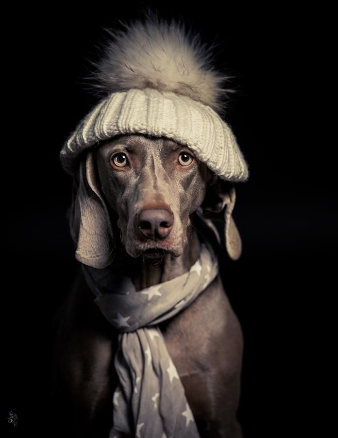Weimaraner In A Hat And Scarf Puppy Dog Clothing / Dogs In
