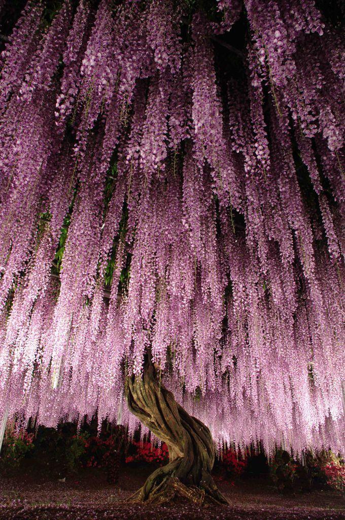 Wisteria tree at Ashikaga Flower Park, Japan. Photography by KotHat on photohito