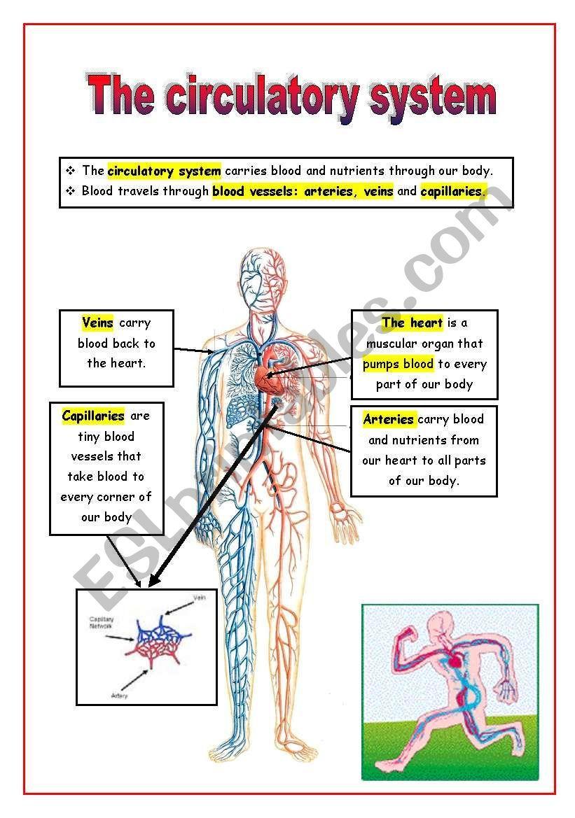 The Circulatory System Circulatory System Circulatory System Projects Circulatory System For Kids