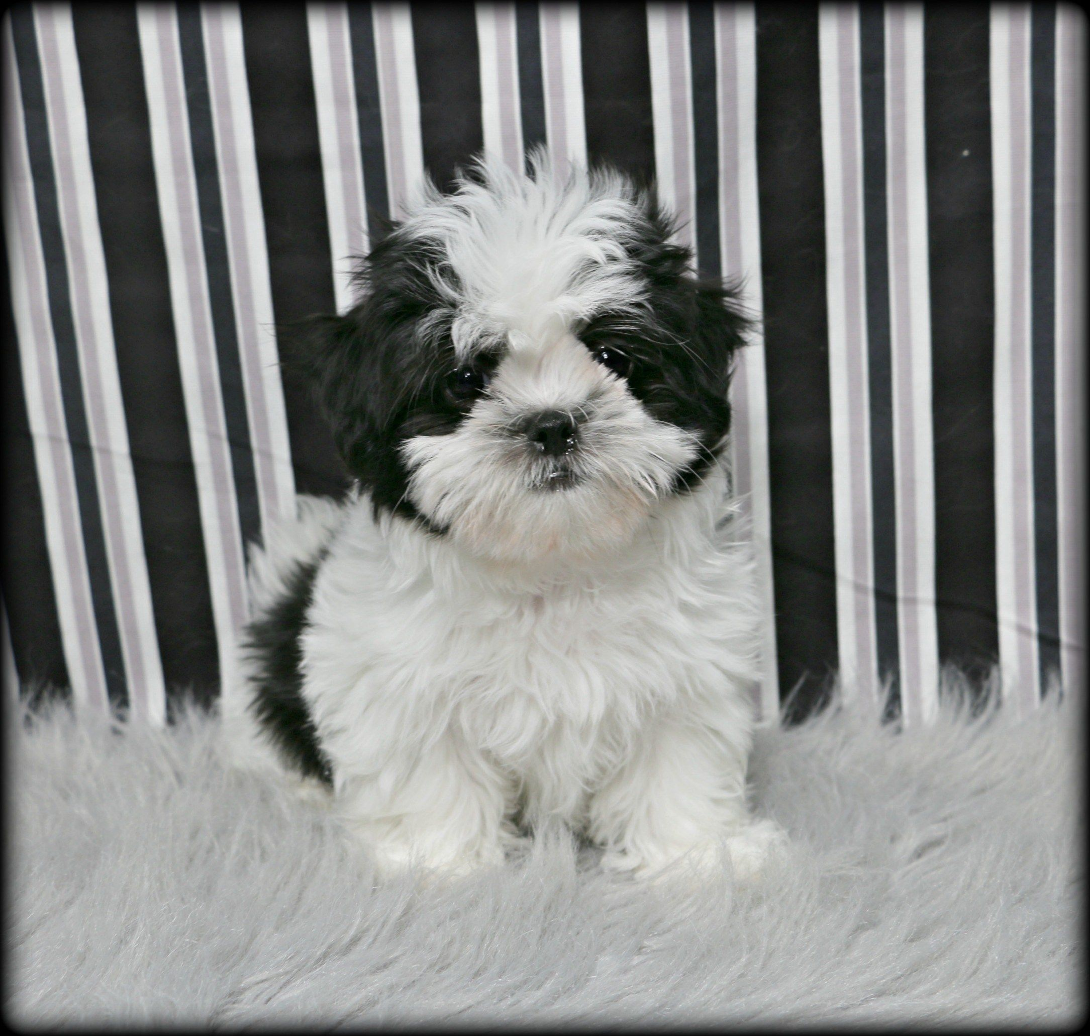 Petland Overland Park Has Maltese Shih Tzu Puppies For Sale Check