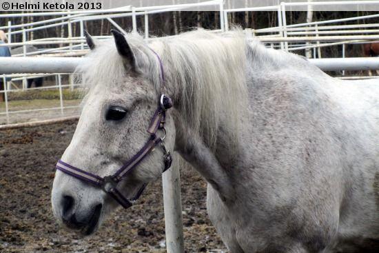 Estonian Native gelding Esteet