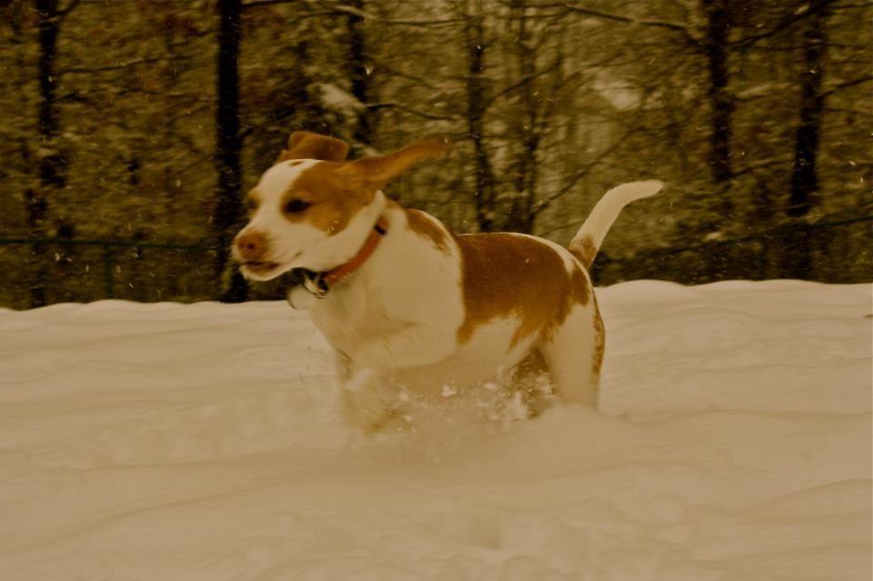 Our Lemon Beagle Playing In The Snow Lemon Beagle Beagle Corgi