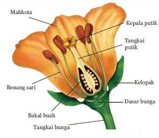 Struktur Bunga Kembang Sepatu Dan Fungsinya Fungsi Mahkota Pada