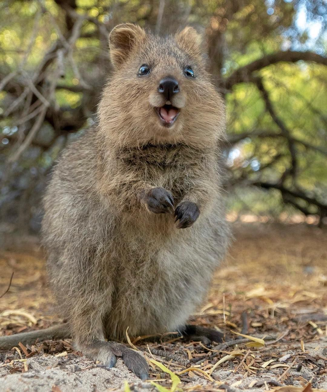 Good Morning Here S Some Cuteness To Start The Day With Rottnestislandwa Quokka Quokkas Animals Perthlife Lovemyperth Amaz Tame Animals Quokka Animals