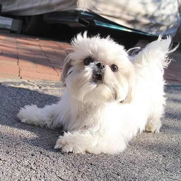 Playful White Shih Tzu Playful White Shih Tzu Shih Tzu Dog