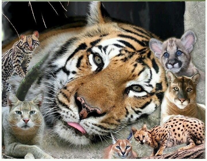 Pin by Hanz Acosta on Wildlife Cat rescue, Big cat