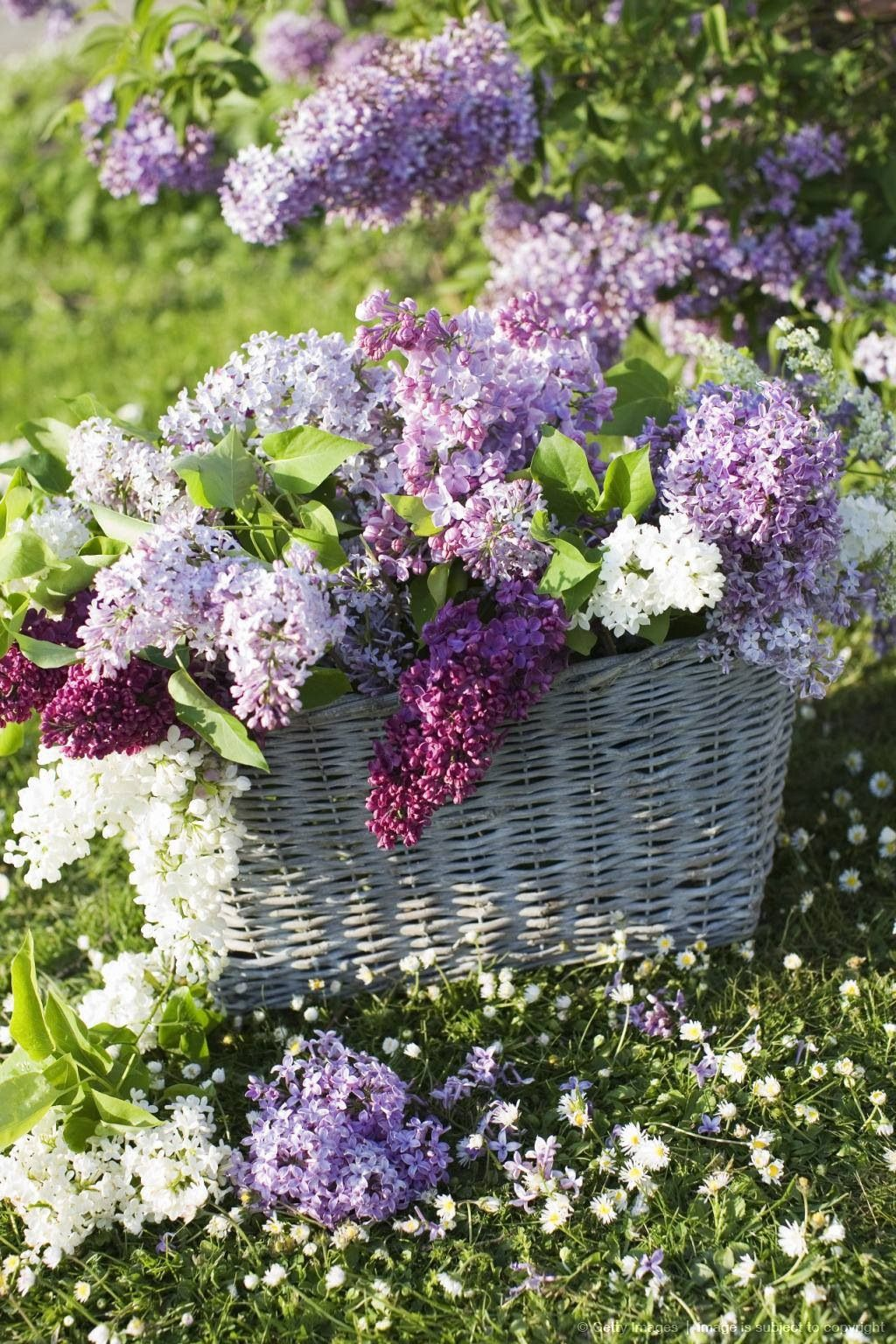 lilacs baskets full of pinterest flieder. Black Bedroom Furniture Sets. Home Design Ideas