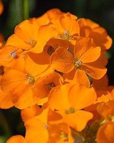 Phlox Paniculata Orange Perfection Potplant Online Vaste Planten Bestellen Bloemzaden Oranje Bloemen Bolbloemen