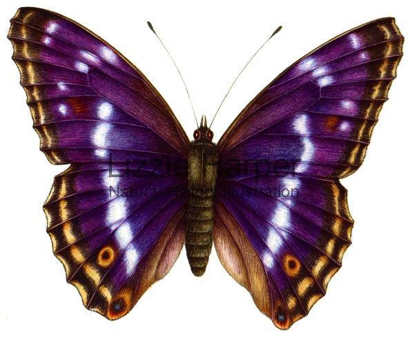 The Purple Emperor (Ap...