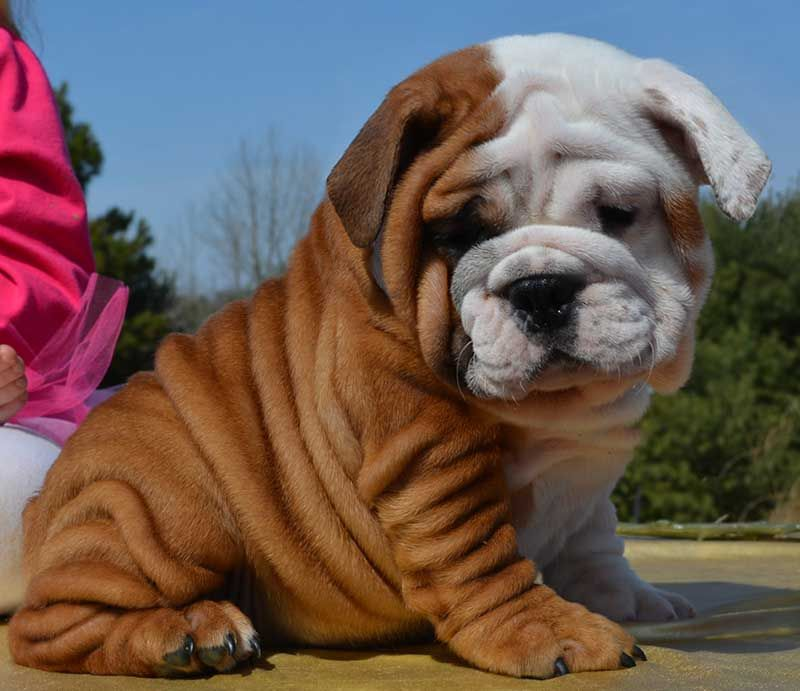 White And Brown Wrinkly Bulldog English Bulldog Mini Bulldog