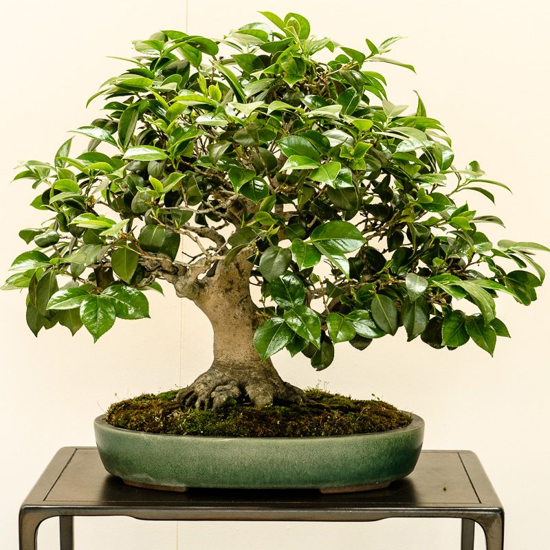 kamelie camellia japonica als bonsai bonsai b ume pinterest bonsai baum asiatischer. Black Bedroom Furniture Sets. Home Design Ideas
