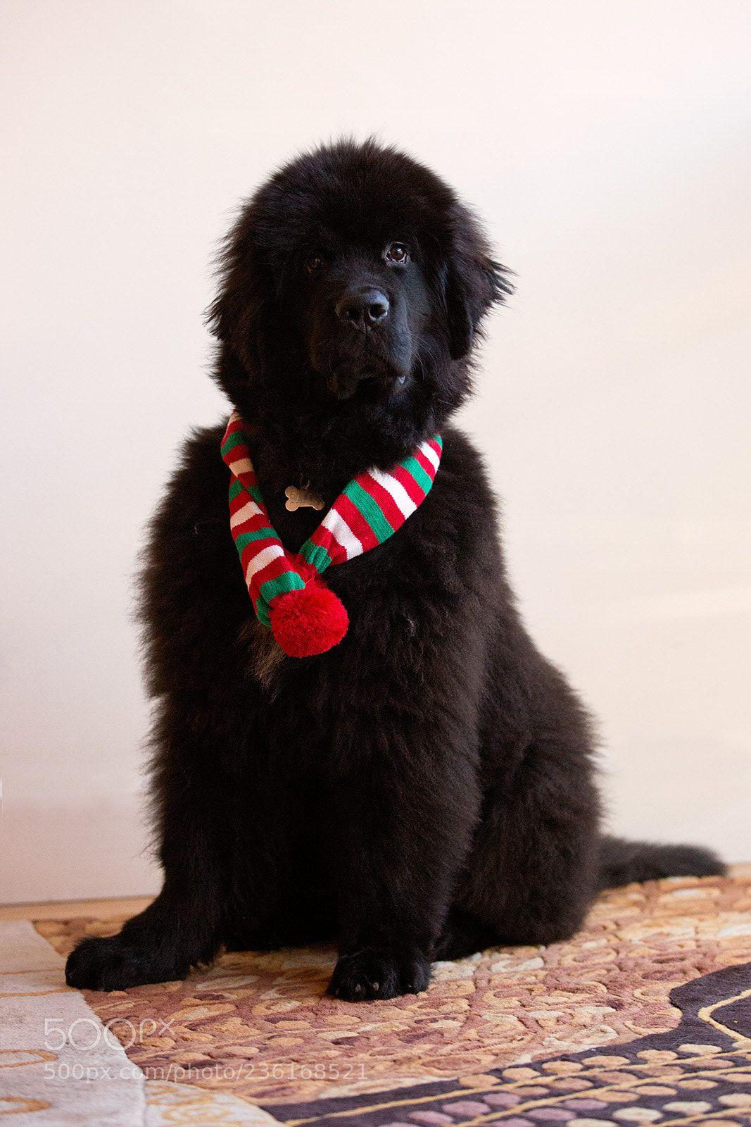 Newfoundland Dog (Jon Albert / Boston / USA) Canon EOS 5D