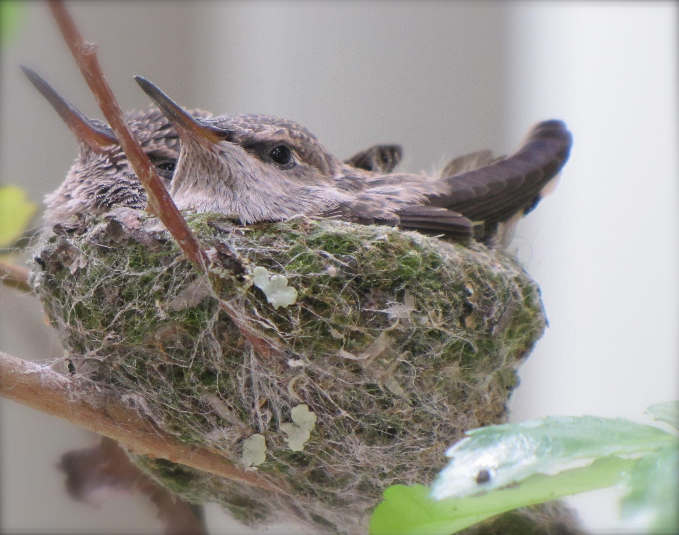 Baby Hummingbirds | Hummingbirds | Pinterest