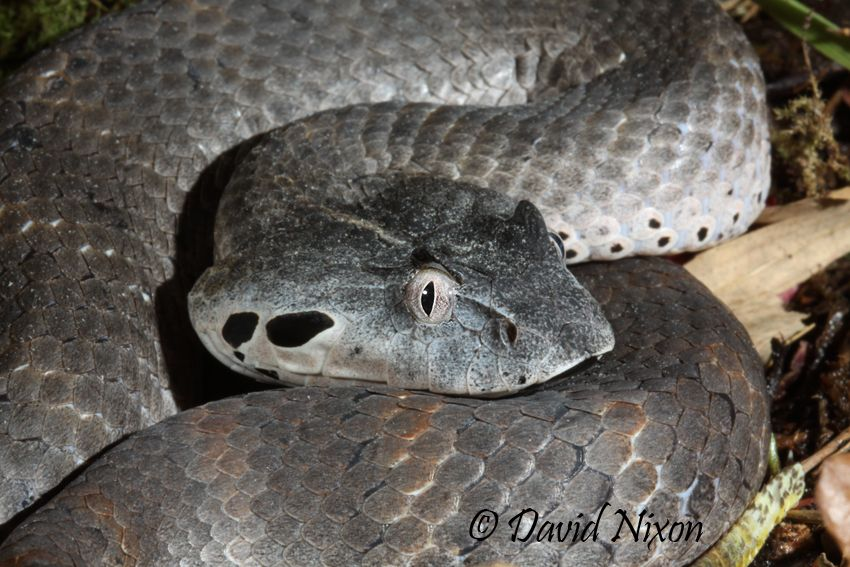 Acanthophis laevis - Smooth Scaled Death Adder