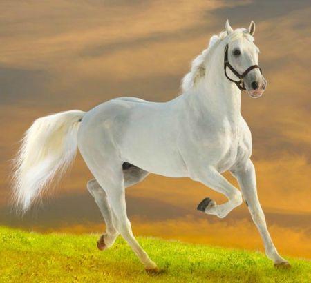 White Horse White Horse Run Domestic White Horse Animal