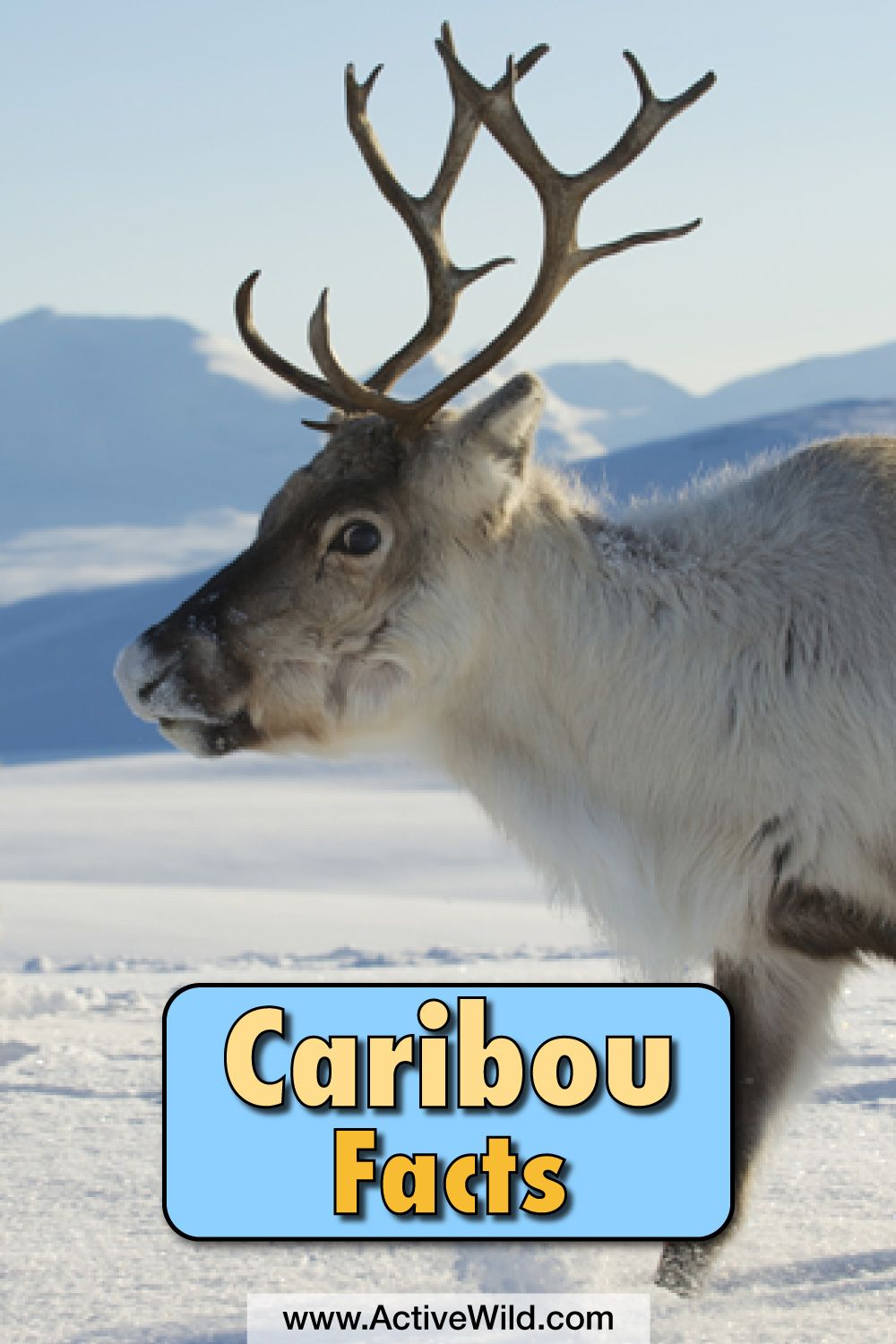 Caribou Facts, With Pictures, Video & Information