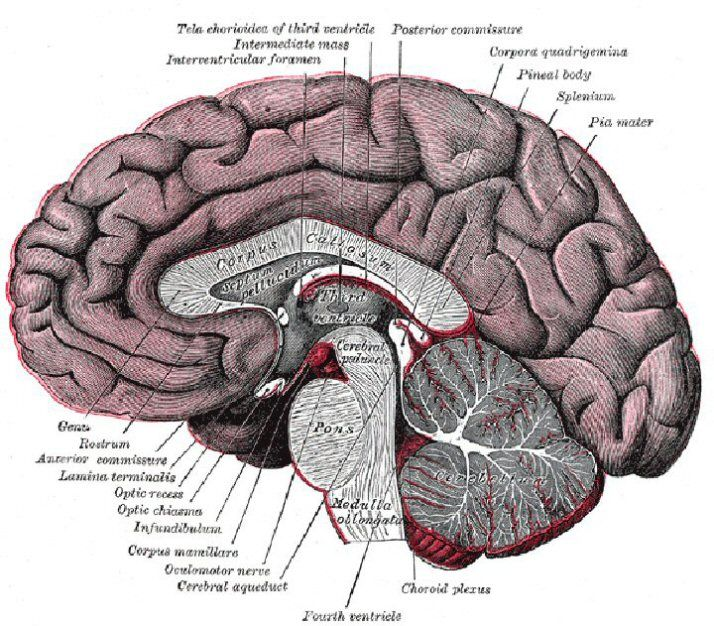 Definitions Of Human Brain Components Brain