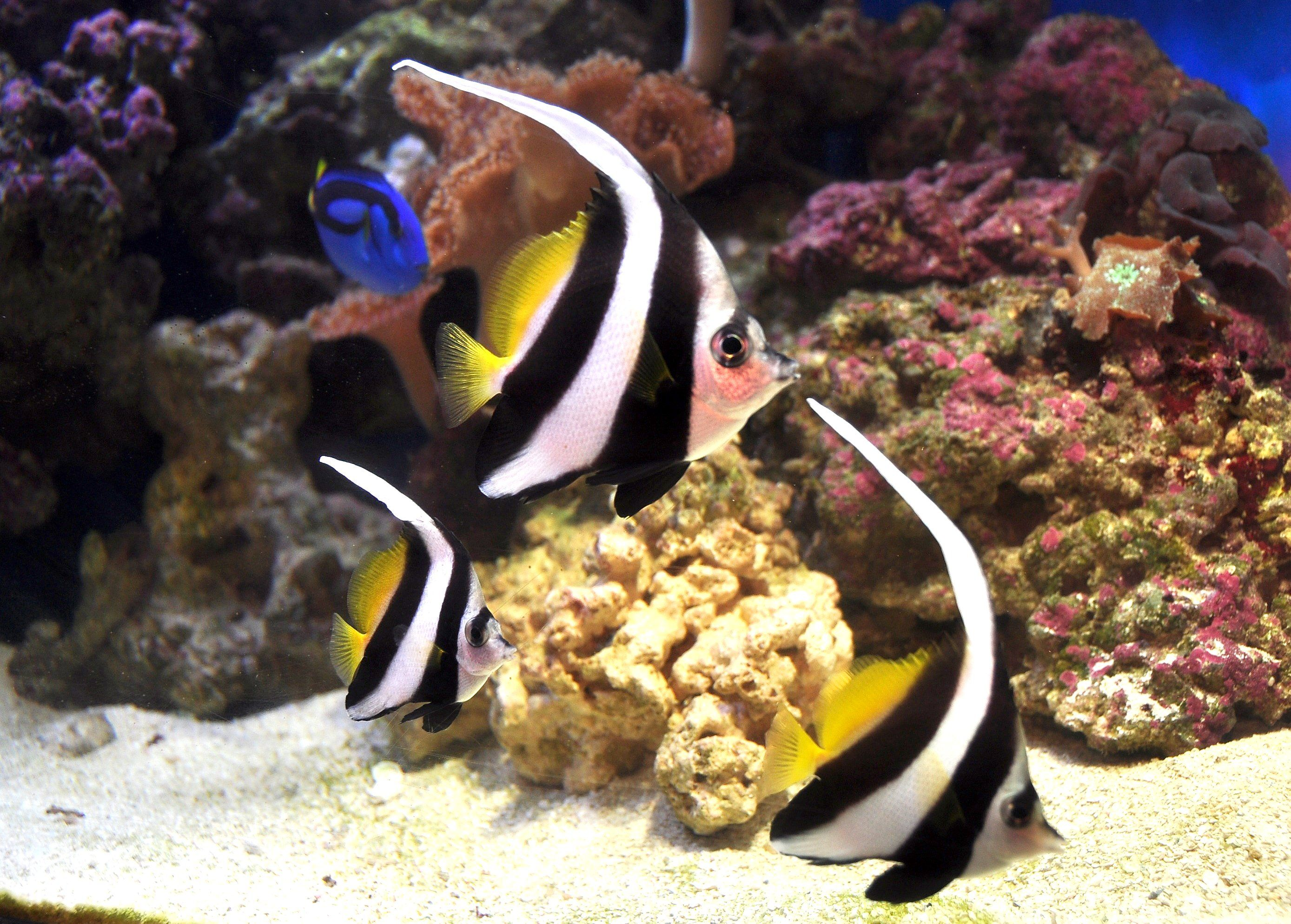 Schooling Bannerfish Or False Moorish Idol Heniochus Diphreutes Saltwater Aquarium Fish Saltwater Fish Tanks Aquarium Fish