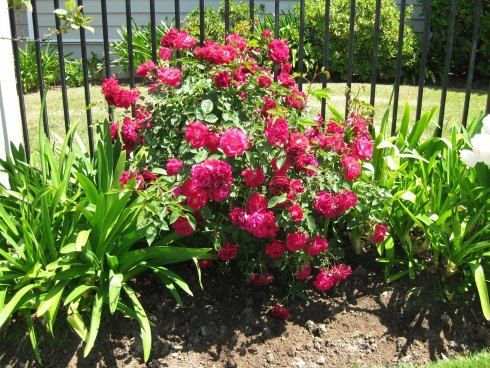 Knock Out Roses, Knockout Rose Care, Buy Knockout Roses | Beautiful ...