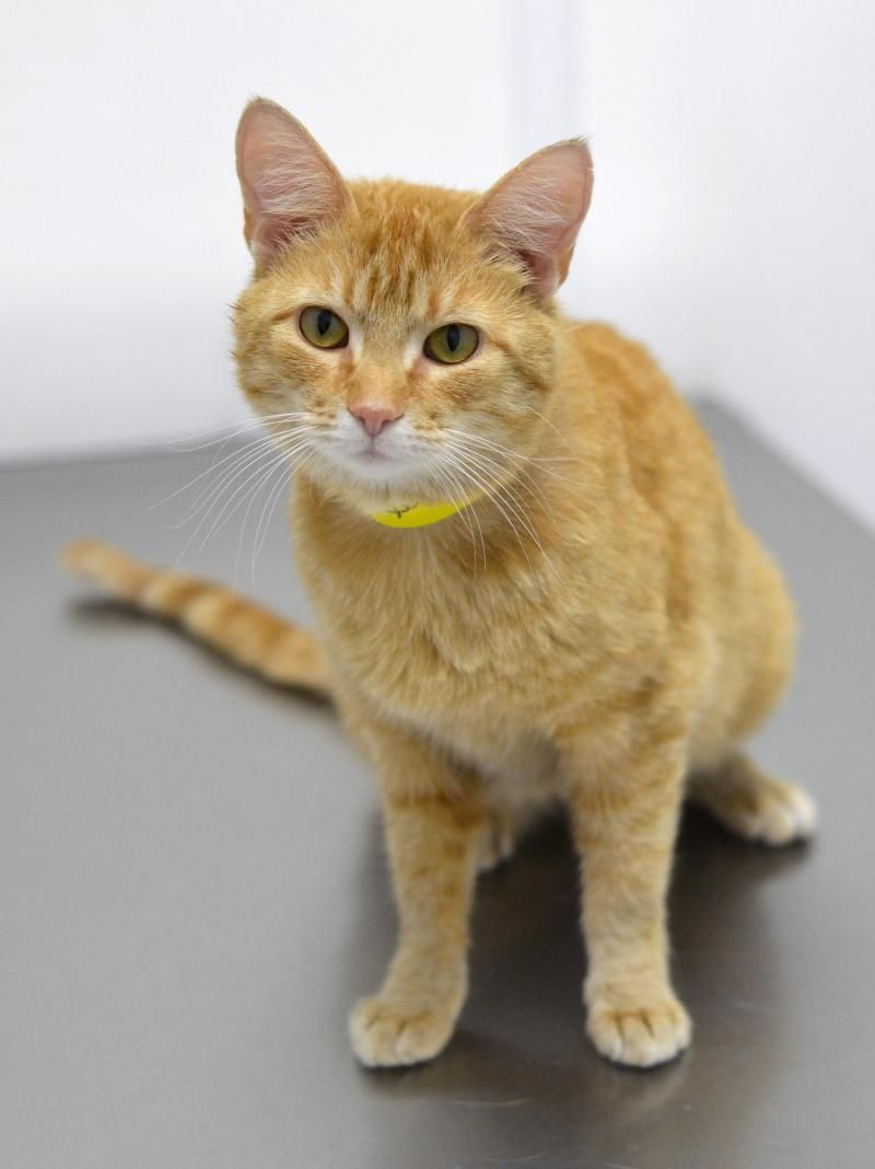 Adopt Apricot Adopted On Cats Shelter Dogs Adoption