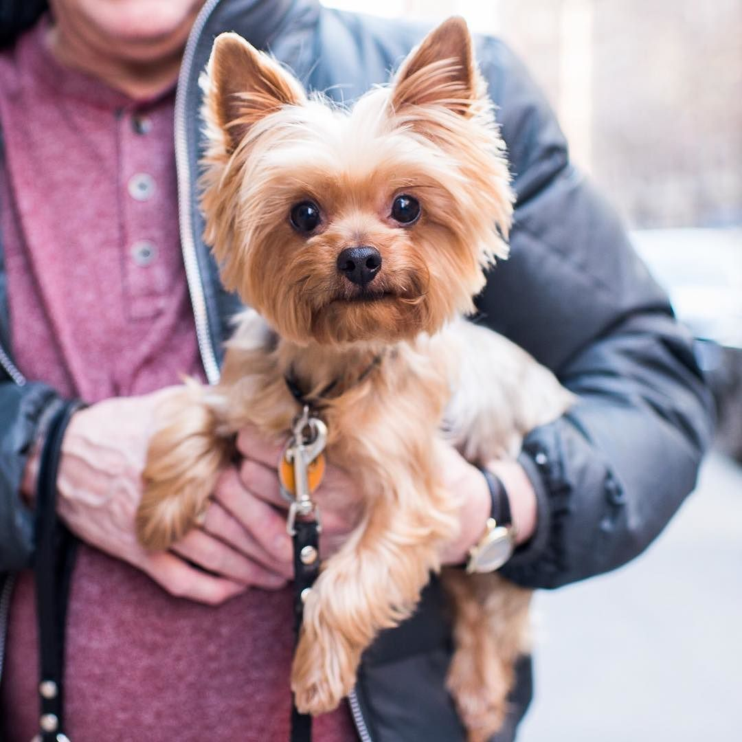 The Dogist On Instagram George Yorkshire Terrier 4 Y O 10th Broadway New York Ny He S Very Bright And Has Alr Yorkshire Terrier Terrier Dog Breeds
