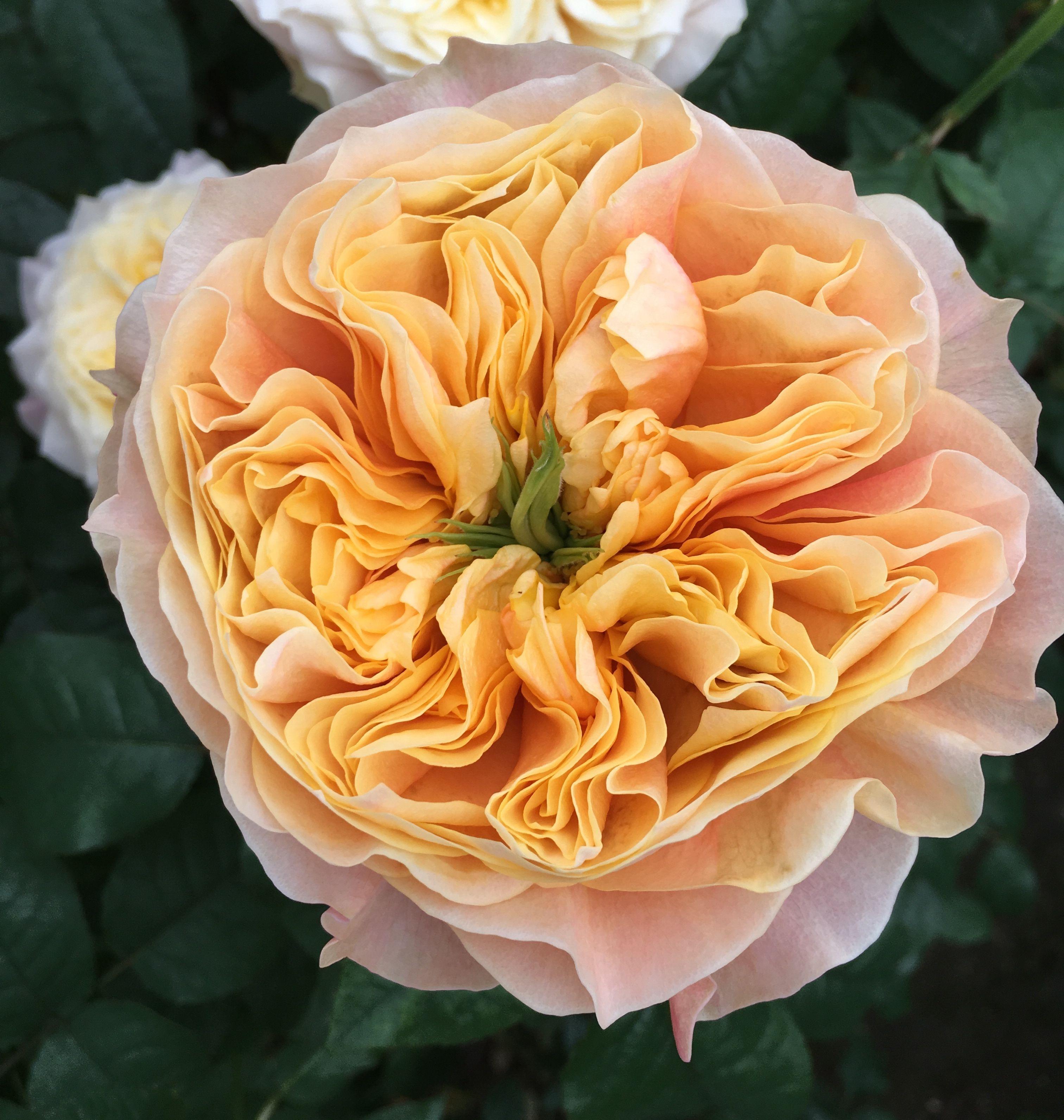 Kensington Gardens Schreurs  flowers  Pinterest