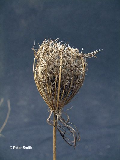 Figure 1. Mature seed head of wild carrot (bird's nest)