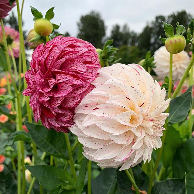 Bloomquist Kevin G Flowers Dahlia Instagram Photo