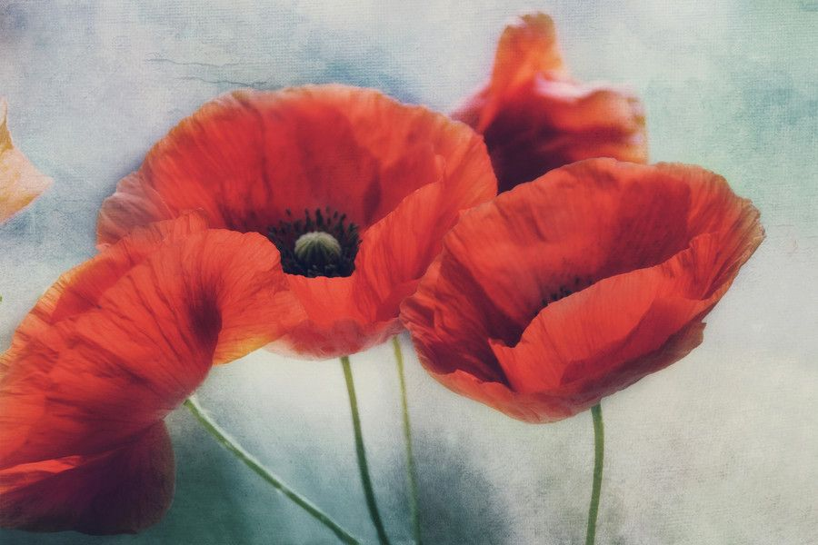Photo charisma of poppies by Irene Weiss on 500px