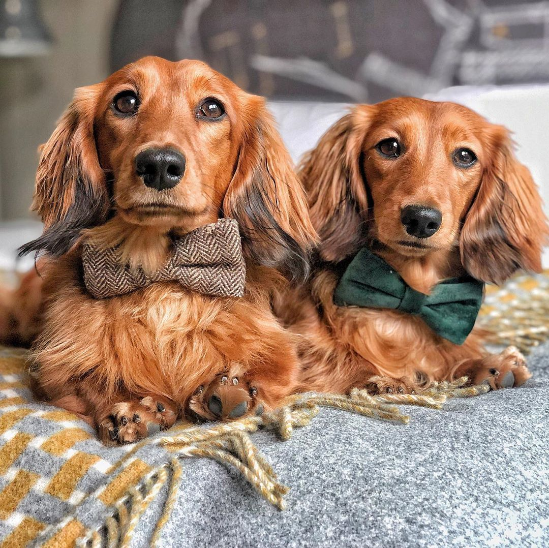 Cheddar Chester Dachshunds On Instagram It S Been Ages Since