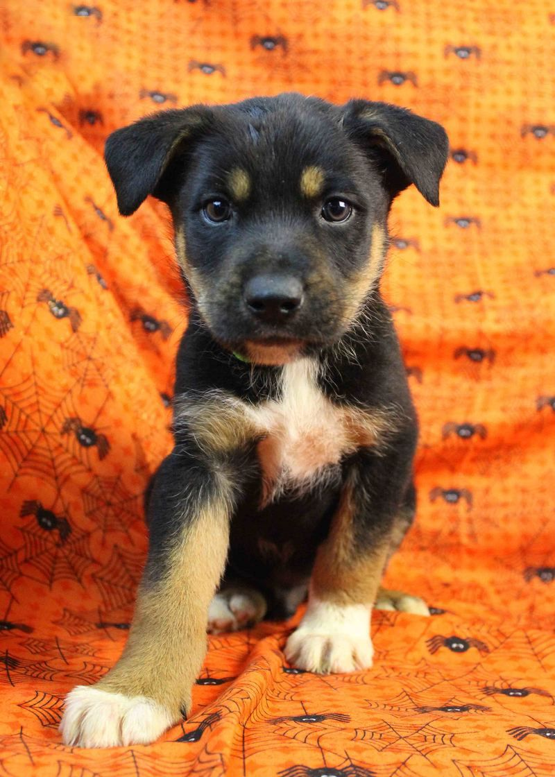 Adopt Glam On Rottweiler Mix Puppies Rottweiler