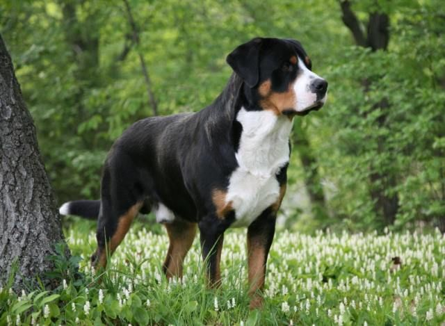 Greater Swiss Mountain Dog Entlebucher Appenzeller Berner Grosser Schweizer Sennenhu With Images
