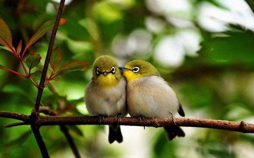 Baby Mejiro birds - YouTube