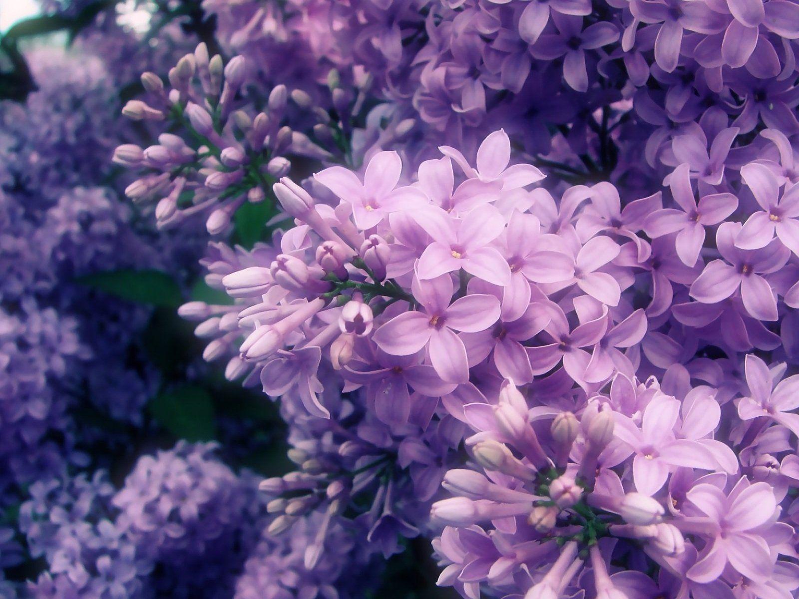 vans lilac flowers