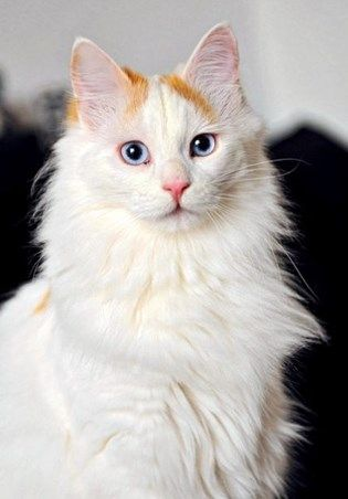 9cd10e6ed499d8 White Cat Breeds