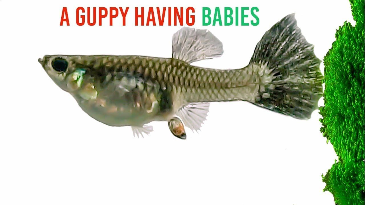 Amazing Guppy Fish giving birth   great video with interesting ...